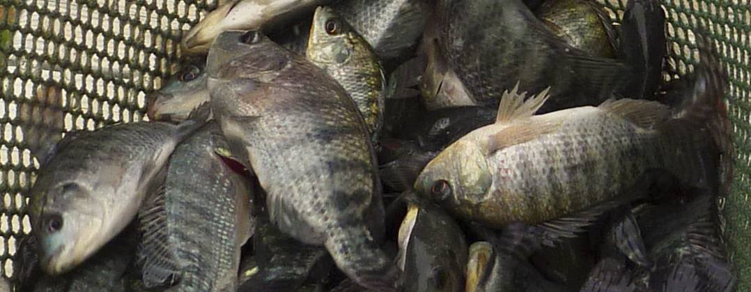 Stocking tilapia fingerlings improve largemouth bass