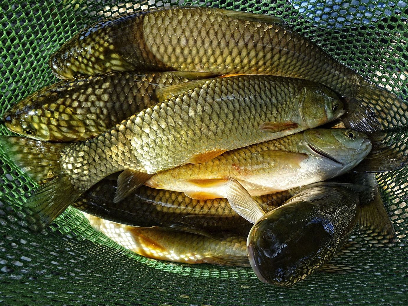 Triploid Grass Carp control aquatic vegetation